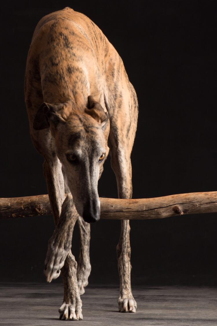 spanischer Windhund