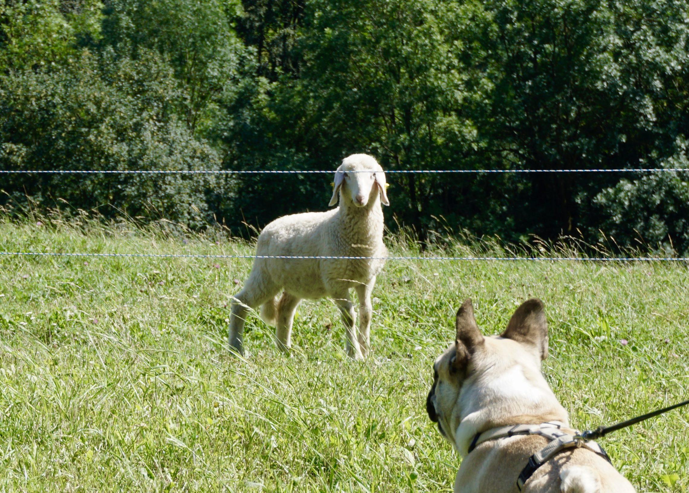 Schafe Geißbühel