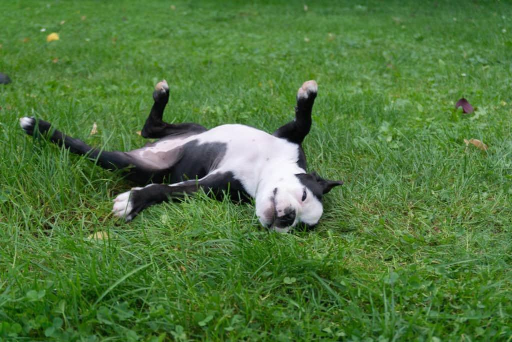 Boston Terrier Stubenreinheit