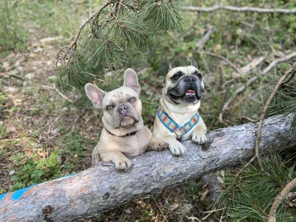 Archie und Murphy mit den Vorderbeinen auf einem umgefallenen Baumstamm