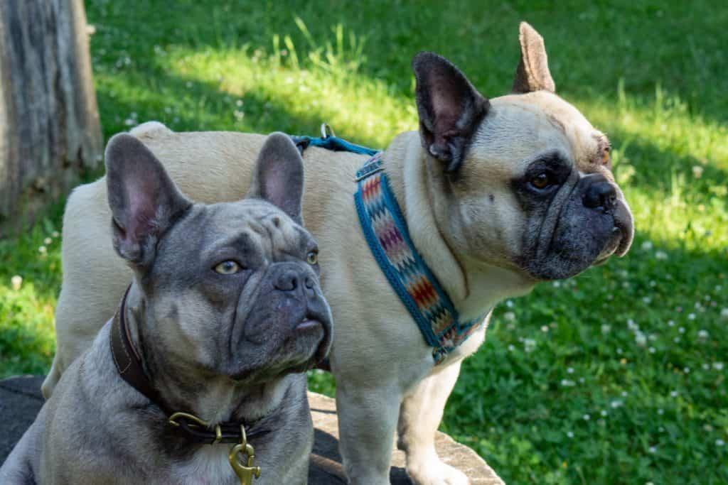 2 französische Bulldoggen auf einem Baumstamm